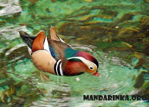 птичка мандаринка