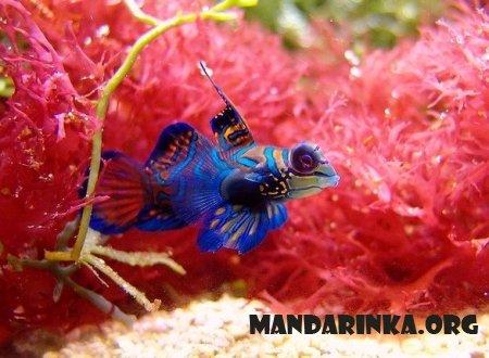 Психоделическая рыбка мандаринка