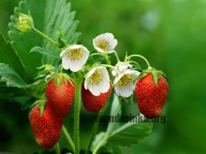 strawberries flowers leaves green