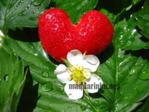 клубника , сердце, обои, роса