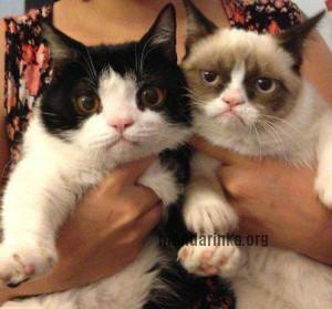 Фотографии Grumpy cat, Сердитого кота